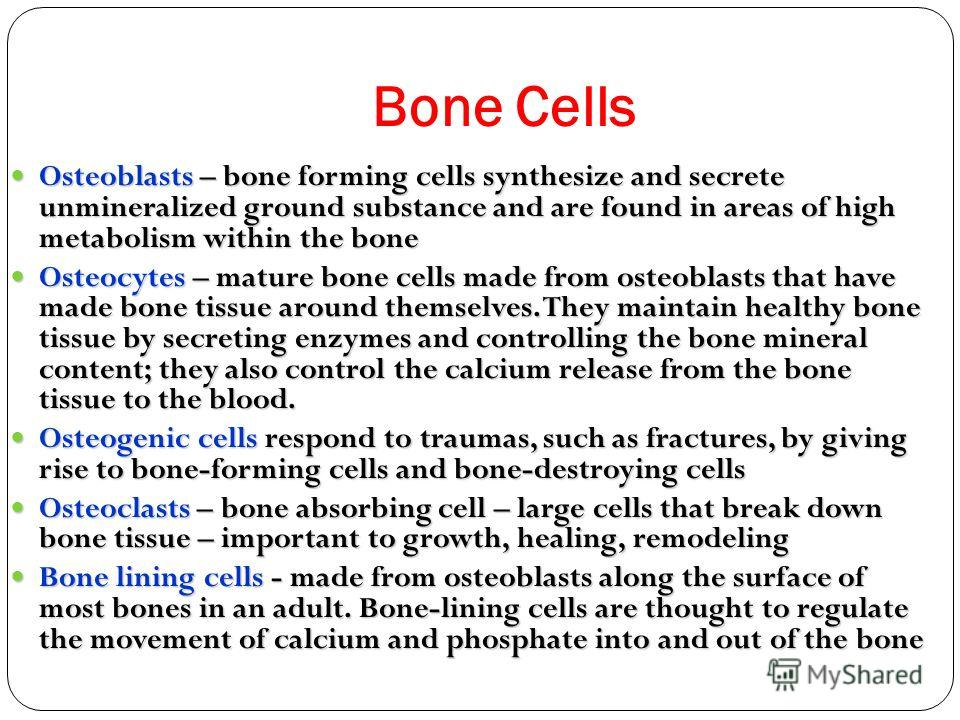 Bone Cells Osteoblasts – bone forming cells synthesize and secrete unmineralized ground substance and are found in areas of high metabolism within the bone Osteoblasts – bone forming cells synthesize and secrete unmineralized ground substance and are