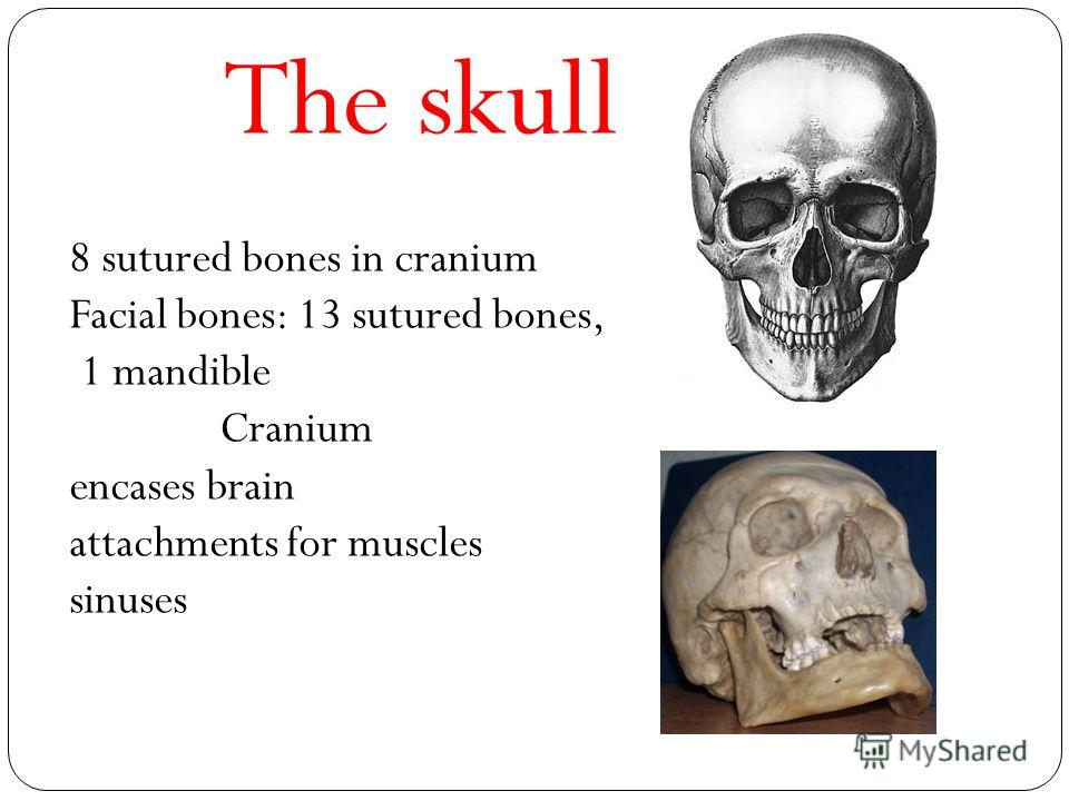 The skull 8 sutured bones in cranium Facial bones: 13 sutured bones, 1 mandible Cranium encases brain attachments for muscles sinuses