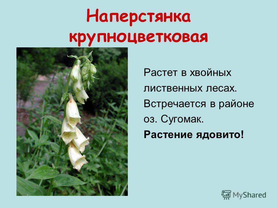 Наперстянка крупноцветковая Растет в хвойных лиственных лесах. Встречается в районе оз. Сугомак. Растение ядовито!