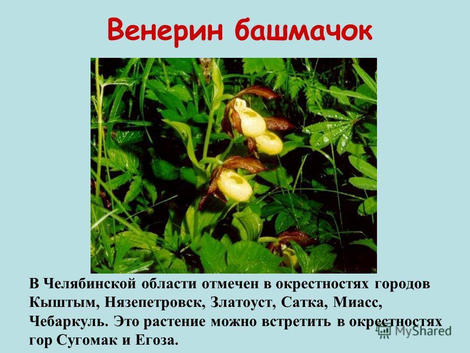 Венерин башмачок В Челябинской области отмечен в окрестностях городов Кыштым, Нязепетровск, Златоуст, Сатка, Миасс, Чебаркуль. Это растение можно встретить в окрестностях гор Сугомак и Егоза.