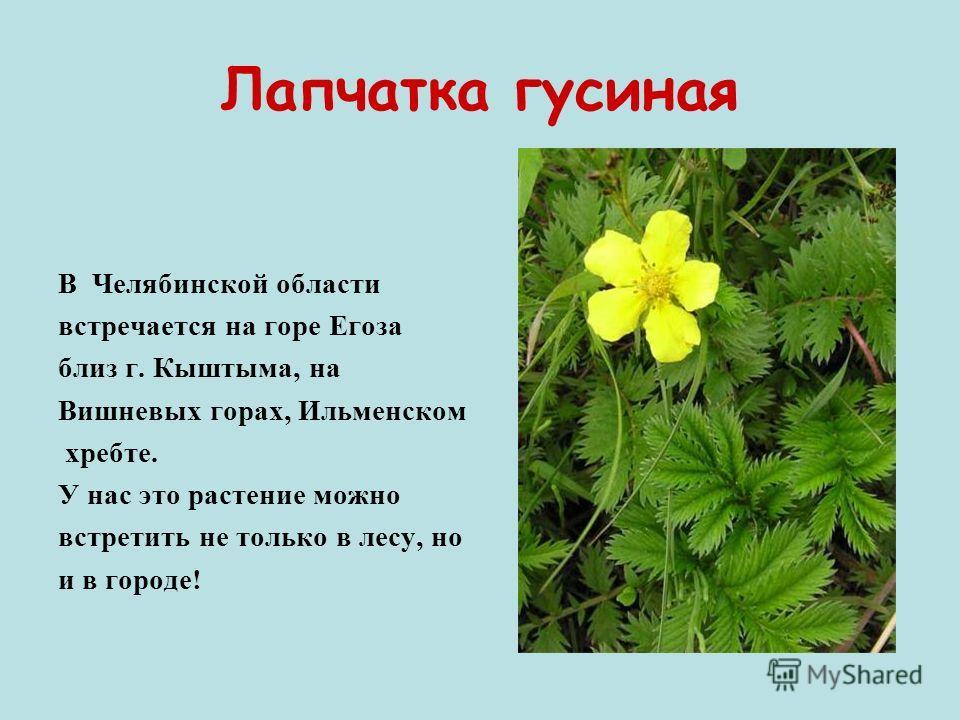 Лапчатка гусиная В Челябинской области встречается на горе Егоза близ г. Кыштыма, на Вишневых горах, Ильменском хребте. У нас это растение можно встретить не только в лесу, но и в городе!