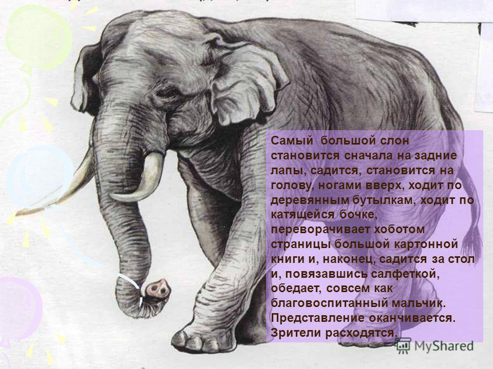 Самый большой слон становится сначала на задние лапы, садится, становится на голову, ногами вверх, ходит по деревянным бутылкам, ходит по катящейся бочке, переворачивает хоботом страницы большой картонной книги и, наконец, садится за стол и, повязавш