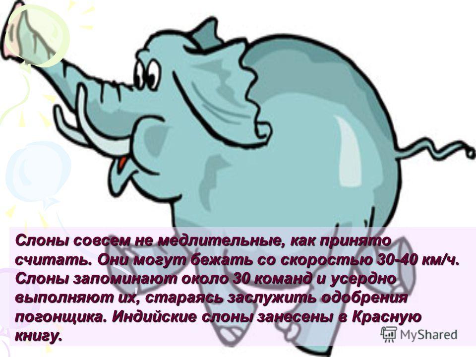 Слоны совсем не медлительные, как принято считать. Они могут бежать со скоростью 30-40 км/ч. Слоны запоминают около 30 команд и усердно выполняют их, стараясь заслужить одобрения погонщика. Индийские слоны занесены в Красную книгу.
