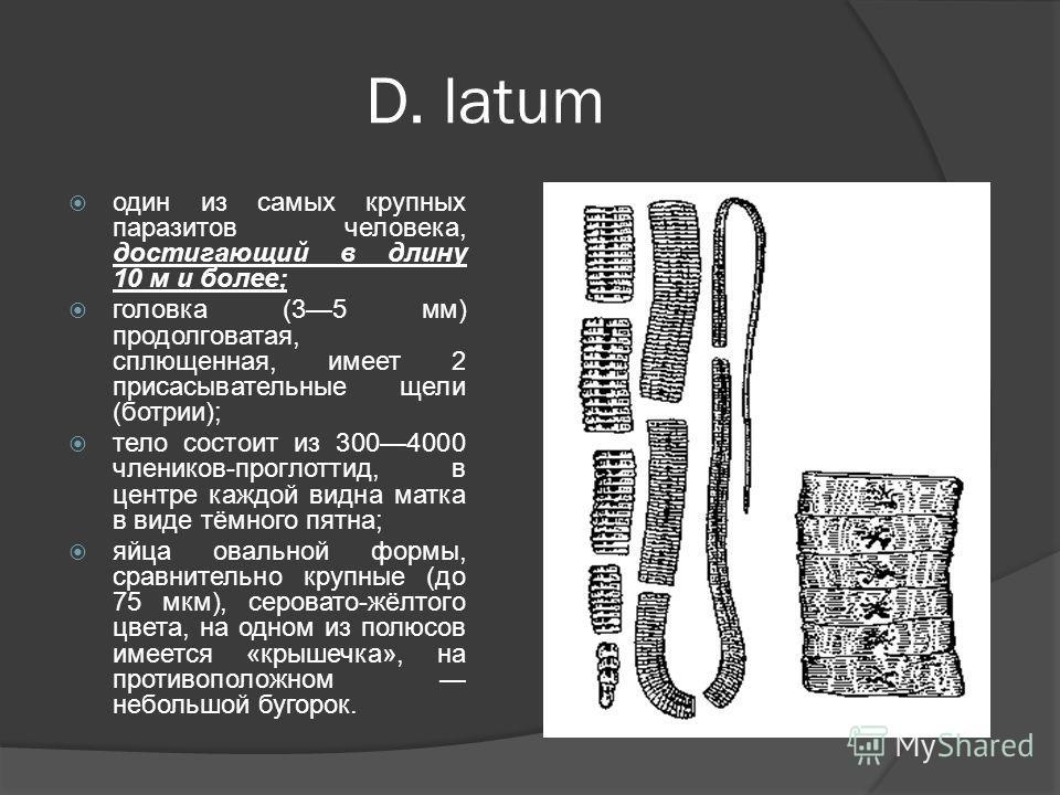 D. latum один из самых крупных паразитов человека, достигающий в длину 10 м и более; головка (35 мм) продолговатая, сплющенная, имеет 2 присасывательные щели (ботрии); тело состоит из 3004000 члеников-проглоттид, в центре каждой видна матка в виде тё