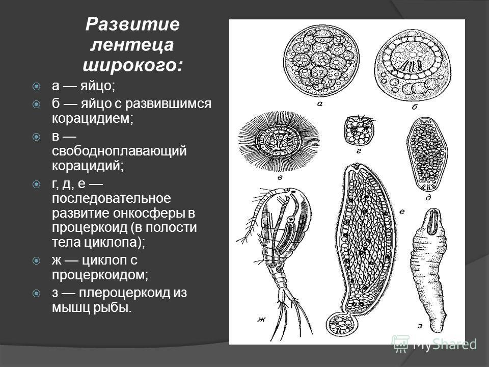 Развитие лентеца широкого: а яйцо; б яйцо с развившимся корацидием; в свободноплавающий корацидий; г, д, е последовательное развитие онкосферы в процеркоид (в полости тела циклопа); ж циклоп с процеркоидом; з плероцеркоид из мышц рыбы.