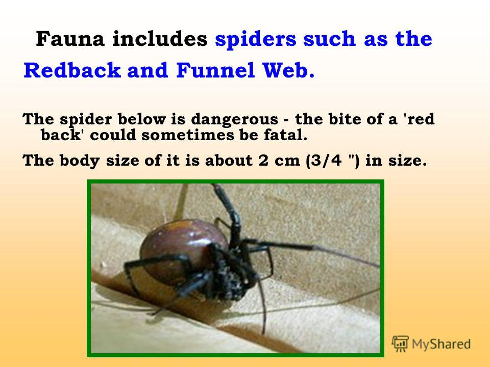 Fauna includes spiders such as the Redback and Funnel Web. The spider below is dangerous - the bite of a 'red back' could sometimes be fatal. The body size of it is about 2 cm (3/4 ) in size.