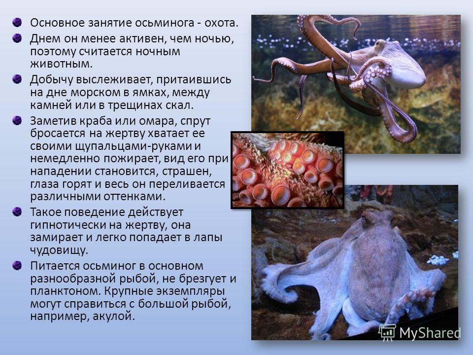 Основное занятие осьминога - охота. Днем он менее активен, чем ночью, поэтому считается ночным животным. Добычу выслеживает, притаившись на дне морском в ямках, между камней или в трещинах скал. Заметив краба или омара, спрут бросается на жертву хват