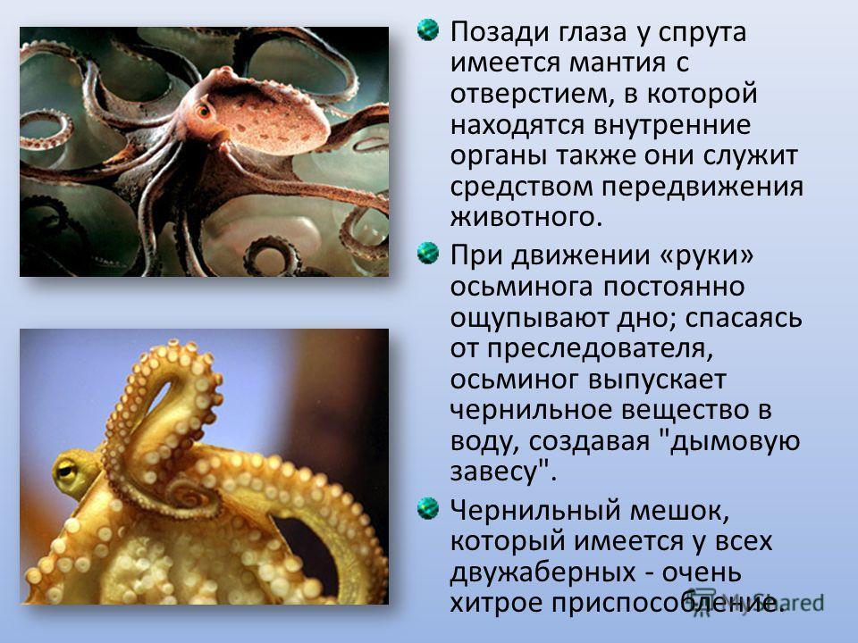 Позади глаза у спрута имеется мантия с отверстием, в которой находятся внутренние органы также они служит средством передвижения животного. При движении «руки» осьминога постоянно ощупывают дно; спасаясь от преследователя, осьминог выпускает чернильн