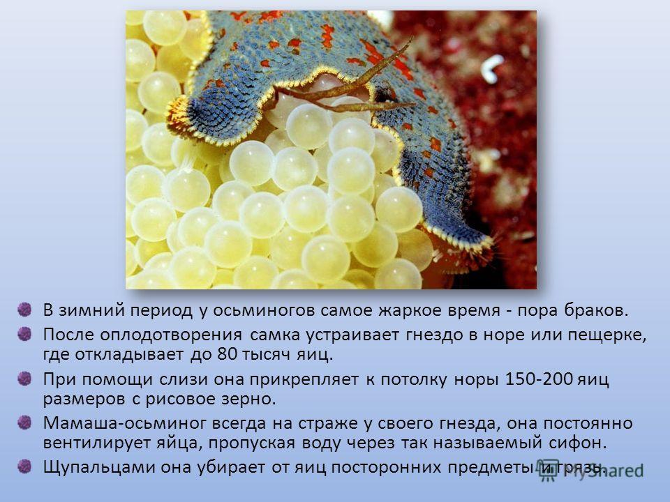 В зимний период у осьминогов самое жаркое время - пора браков. После оплодотворения самка устраивает гнездо в норе или пещерке, где откладывает до 80 тысяч яиц. При помощи слизи она прикрепляет к потолку норы 150-200 яиц размеров с рисовое зерно. Мам