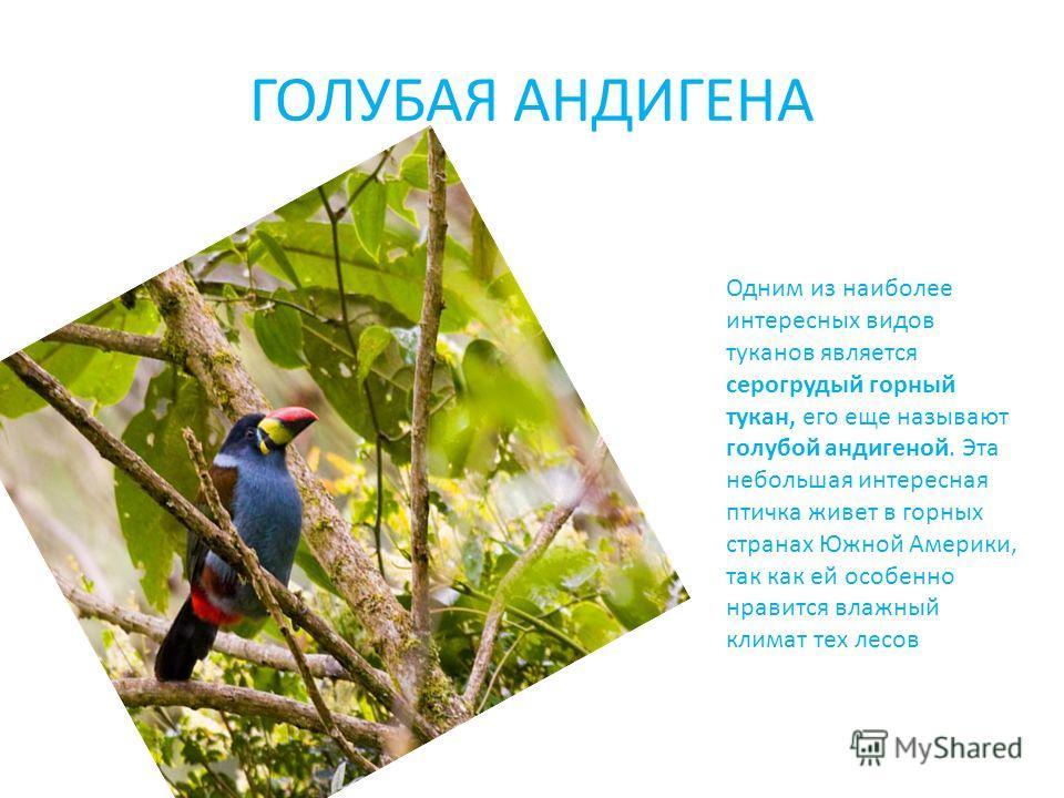 ГОЛУБАЯ АНДИГЕНА Одним из наиболее интересных видов туканов является серогрудый горный тукан, его еще называют голубой андигеной. Эта небольшая интересная птичка живет в горных странах Южной Америки, так как ей особенно нравится влажный климат тех ле