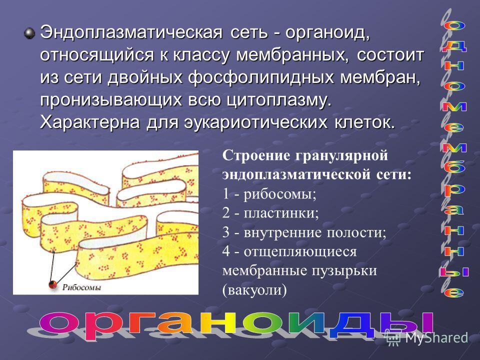 Эндоплазматическая сеть - органоид, относящийся к классу мембранных, состоит из сети двойных фосфолипидных мембран, пронизывающих всю цитоплазму. Характерна для эукариотических клеток. Строение гранулярной эндоплазматической сети: 1 - рибосомы; 2 - п