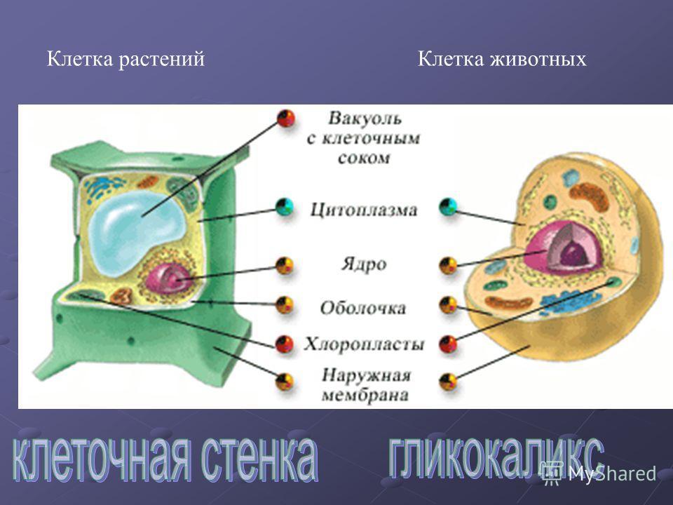 Клетка растенийКлетка животных