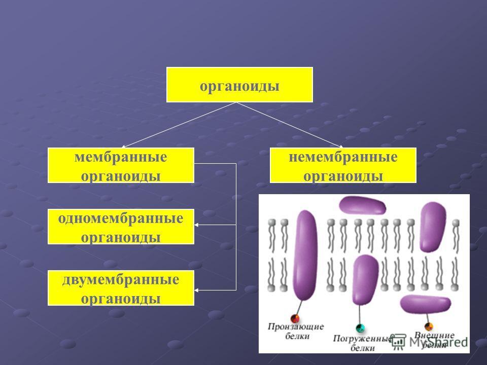 органоиды мембранные органоиды немембранные органоиды одномембранные органоиды двумембранные органоиды