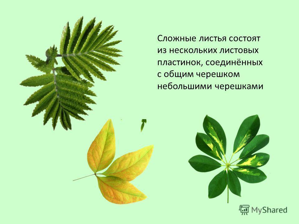 Сложные листья состоят из нескольких листовых пластинок, соединённых с общим черешком небольшими черешками