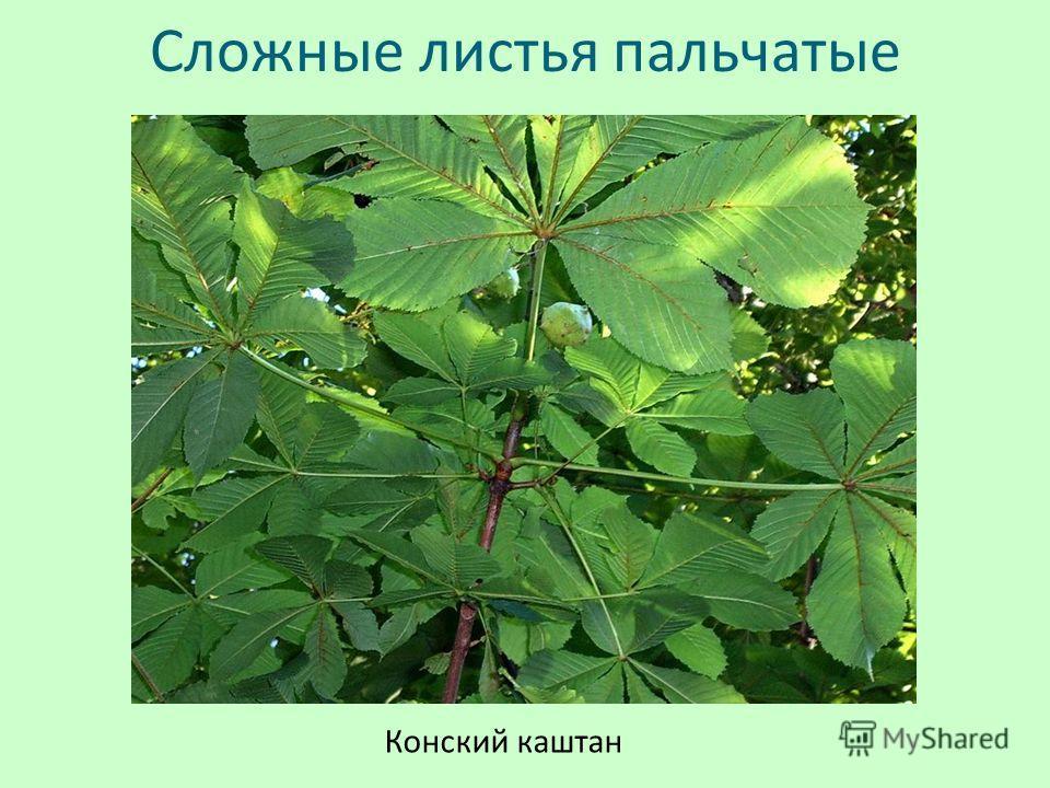 Сложные листья пальчатые Конский каштан