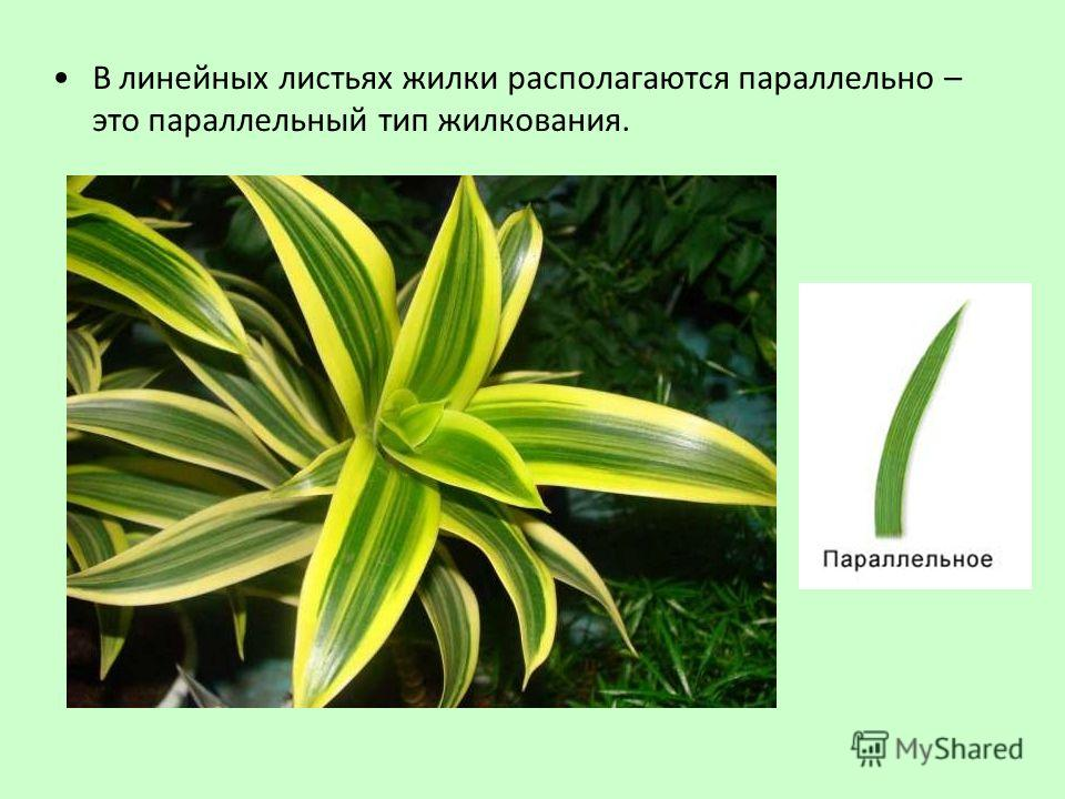В линейных листьях жилки располагаются параллельно – это параллельный тип жилкования.