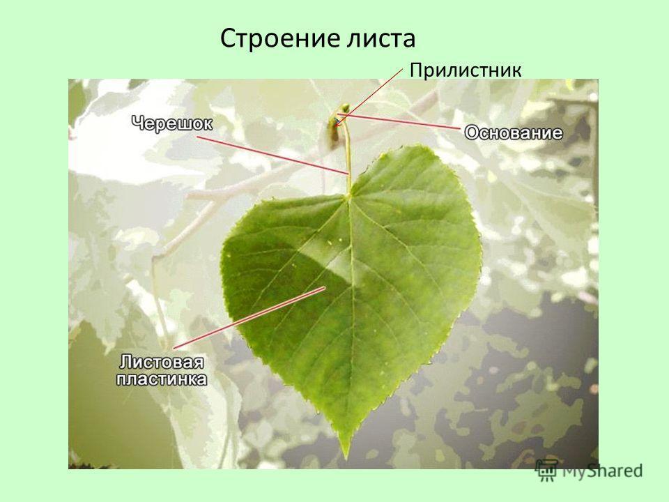 Строение листа Прилистник
