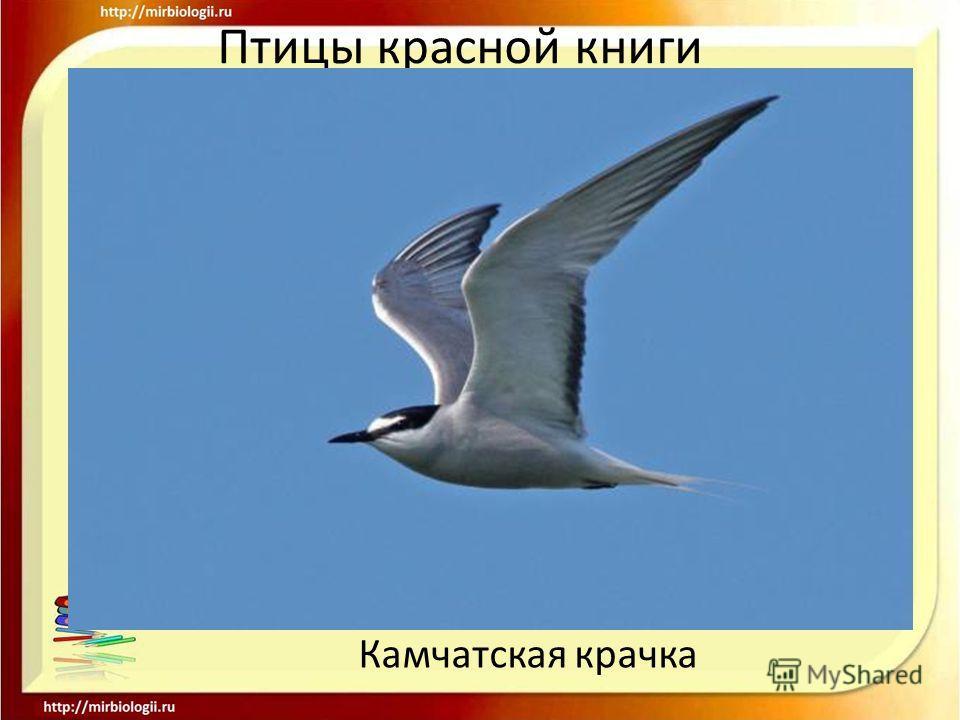 Птицы красной книги Камчатская крачка
