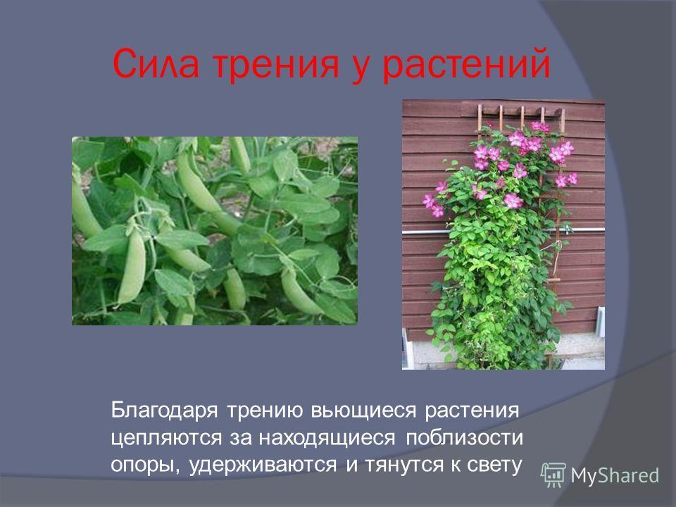 Сила трения у растений Благодаря трению вьющиеся растения цепляются за находящиеся поблизости опоры, удерживаются и тянутся к свету