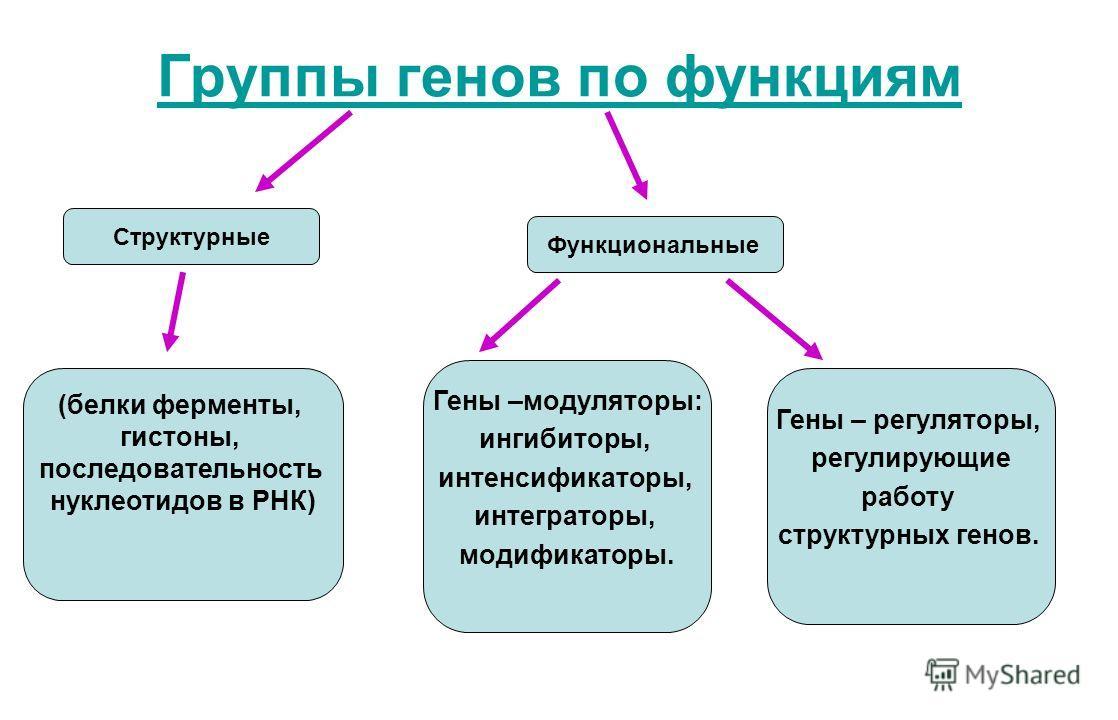 Группы генов по функциям Структурные (белки ферменты, гистоны, последовательность нуклеотидов в РНК) Гены –модуляторы: ингибиторы, интенсификаторы, интеграторы, модификаторы. Функциональные Гены – регуляторы, регулирующие работу структурных генов.