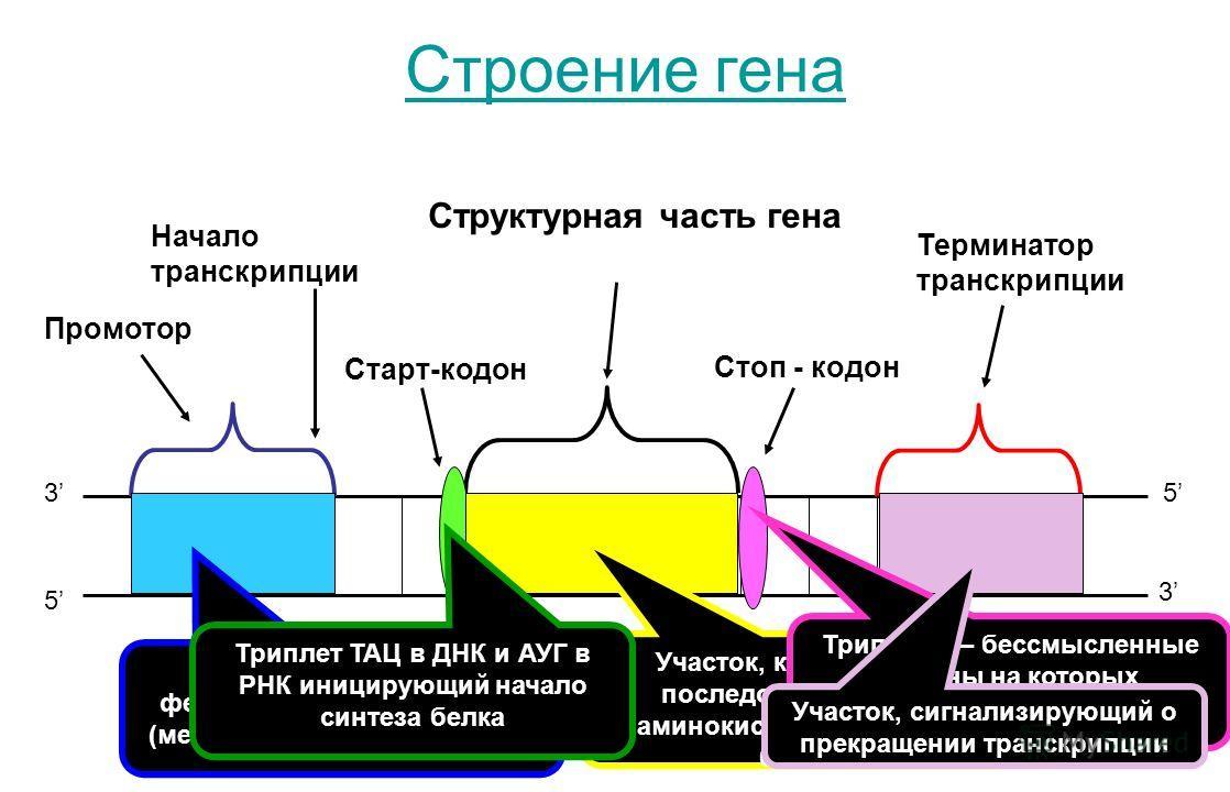 Структурная часть гена Промотор Начало транскрипции Старт-кодон Стоп - кодон 3 5 5 3 Терминатор транскрипции Строение гена Участок связывания фермента РНК-полимеразы (место начала транскрипции) Участок, кодирующий последовательность аминокислот в мол
