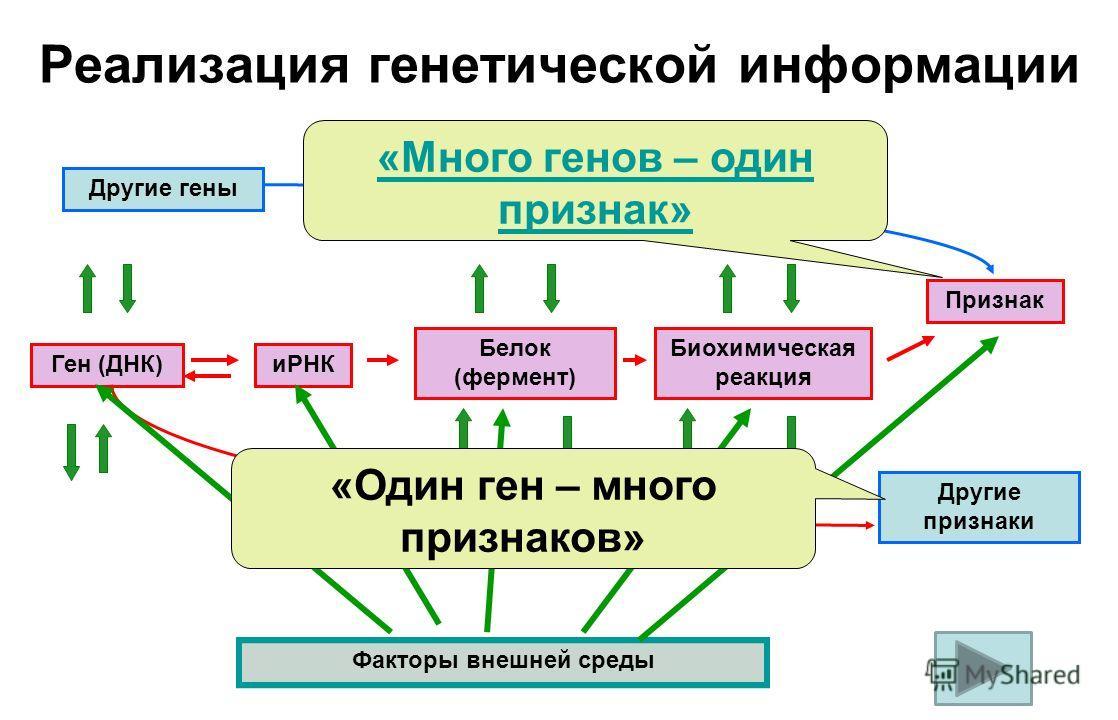 Реализация генетической информации Другие гены Ген (ДНК)иРНК Белок (фермент) Биохимическая реакция Признак Другие признаки Факторы внешней среды «Много генов – один признак» «Один ген – много признаков»