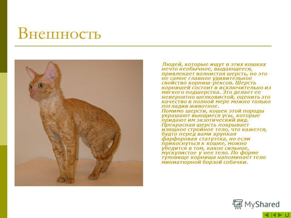Корниш-рекс - это изысканная богемная кошка. Эти кошки отличаются от других пород своей необычной мягкой вьющейся шерстью и яркой внешностью. Корниш-рекс самая удобная в содержании порода. Установлен факт: из всех кошек лишь корниш-рекс практически н