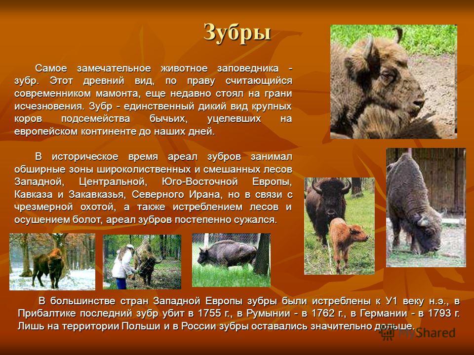 Зубры Самое замечательное животное заповедника - зубр. Этот древний вид, по праву считающийся современником мамонта, еще недавно стоял на грани исчезновения. Зубр - единственный дикий вид крупных коров подсемейства бычьих, уцелевших на европейском ко