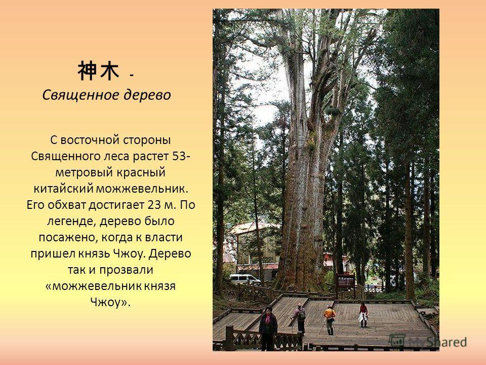 - Священное дерево С восточной стороны Священного леса растет 53- метровый красный китайский можжевельник. Его обхват достигает 23 м. По легенде, дерево было посажено, когда к власти пришел князь Чжоу. Дерево так и прозвали «можжевельник князя Чжоу».