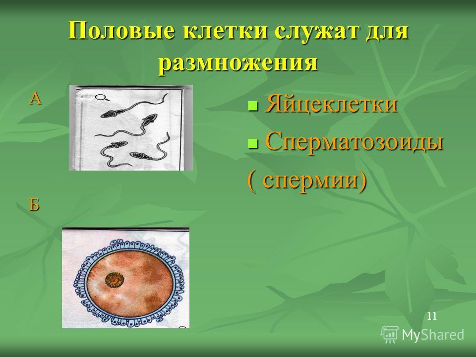 Половые клетки служат для размножения АБ Яйцеклетки Яйцеклетки Сперматозоиды Сперматозоиды ( спермии) 11
