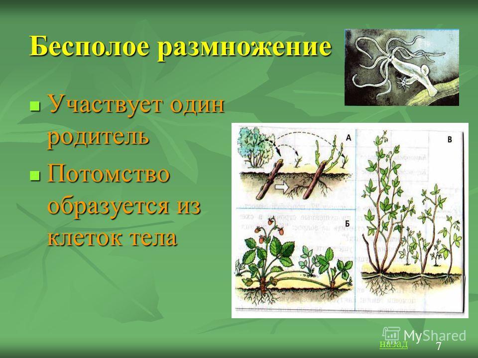 Бесполое размножение Участвует один родитель Участвует один родитель Потомство образуется из клеток тела Потомство образуется из клеток тела назад 7