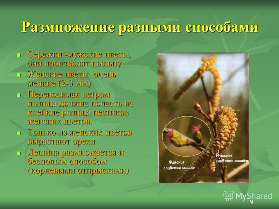 Размножение разными способами Сережки -мужские цветы, они производят пыльцу Сережки -мужские цветы, они производят пыльцу Женские цветы очень мелкие (2-3 мм) Женские цветы очень мелкие (2-3 мм) Переносимая ветром пыльца должна попасть на клейкие рыль