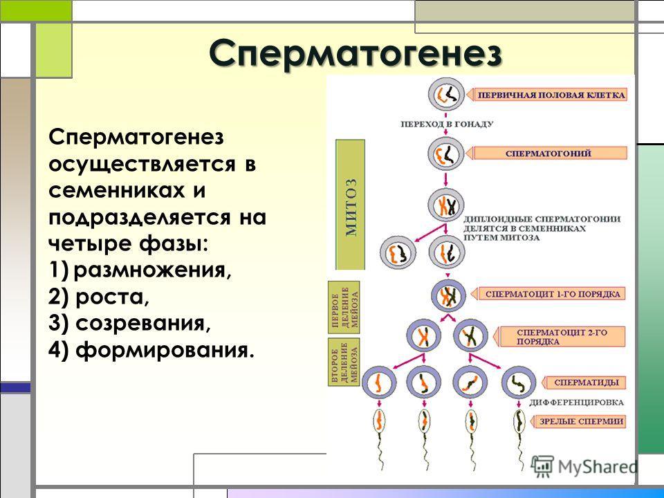 Cперматогенез Сперматогенез осуществляется в семенниках и подразделяется на четыре фазы: 1)размножения, 2) роста, 3) созревания, 4) формирования.