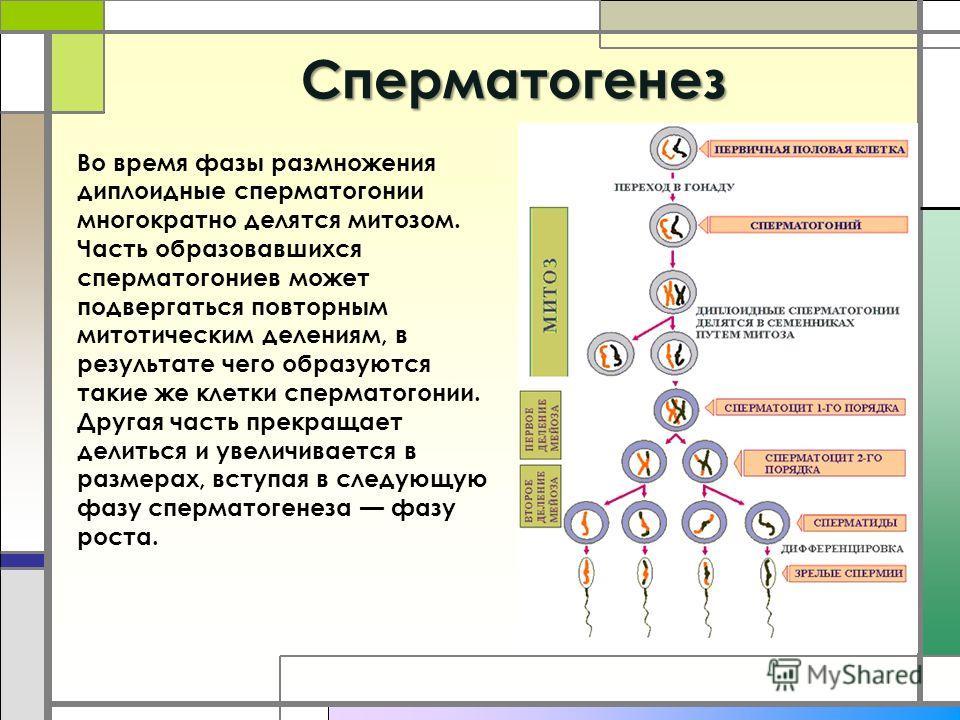 Cперматогенез Во время фазы размножения диплоидные сперматогонии многократно делятся митозом. Часть образовавшихся сперматогониев может подвергаться повторным митотическим делениям, в результате чего образуются такие же клетки сперматогонии. Другая ч