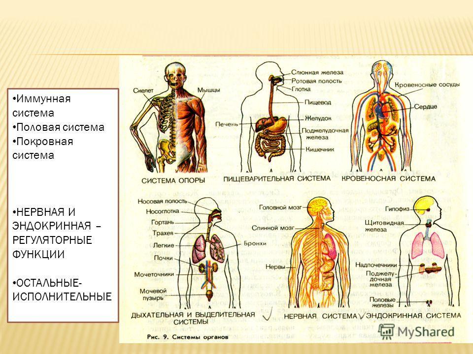 Иммунная система Половая система Покровная система НЕРВНАЯ И ЭНДОКРИННАЯ – РЕГУЛЯТОРНЫЕ ФУНКЦИИ ОСТАЛЬНЫЕ- ИСПОЛНИТЕЛЬНЫЕ
