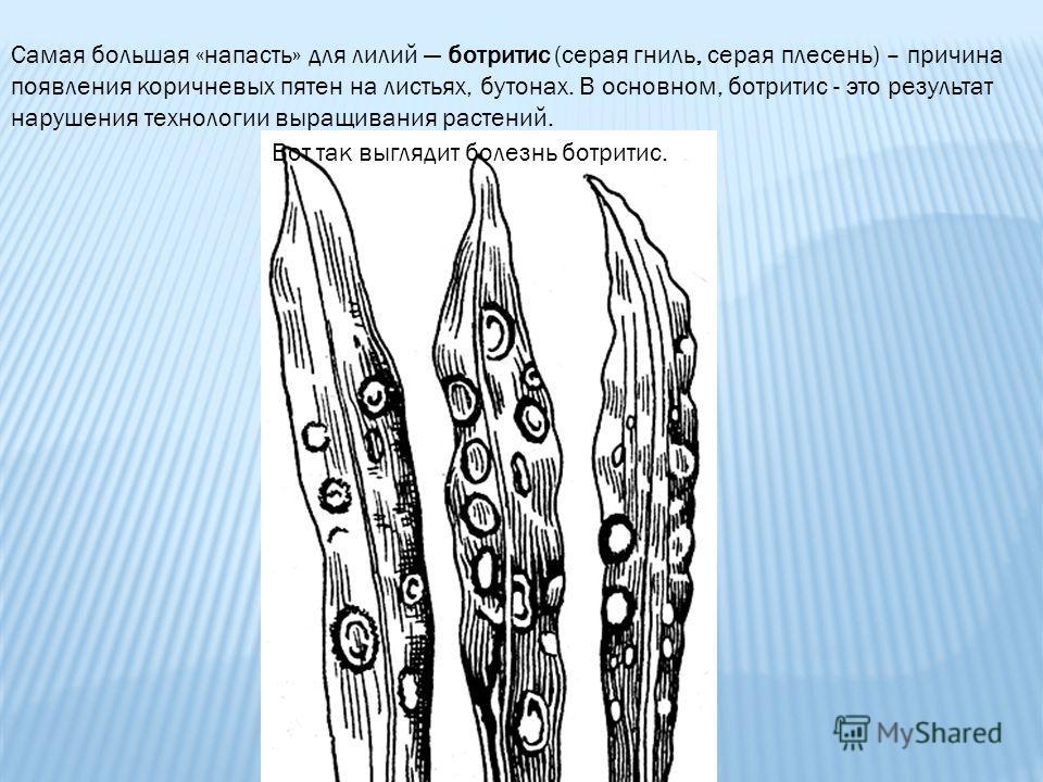 Самая большая «напасть» для лилий ботритис (серая гниль, серая плесень) – причина появления коричневых пятен на листьях, бутонах. В основном, ботритис - это результат нарушения технологии выращивания растений. Вот так выглядит болезнь ботритис.