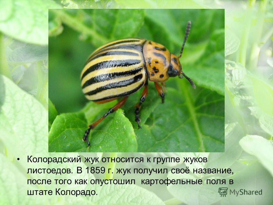 Колорадский жук относится к группе жуков листоедов. В 1859 г. жук получил своё название, после того как опустошил картофельные поля в штате Колорадо.