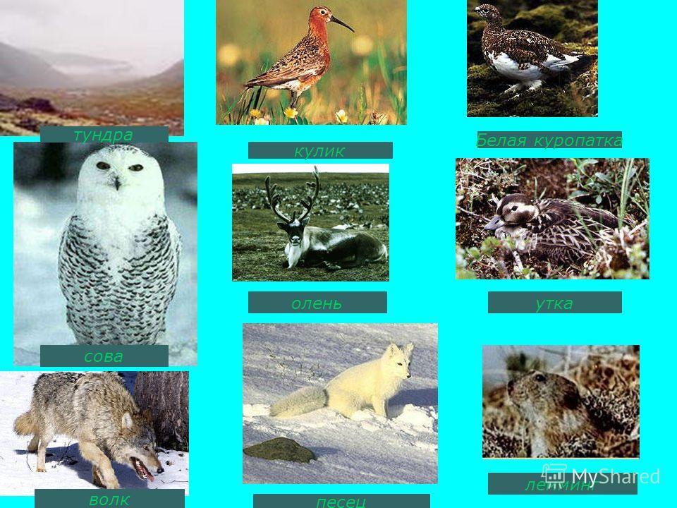 кулик Белая куропатка оленьутка лемминг песец волк сова тундра