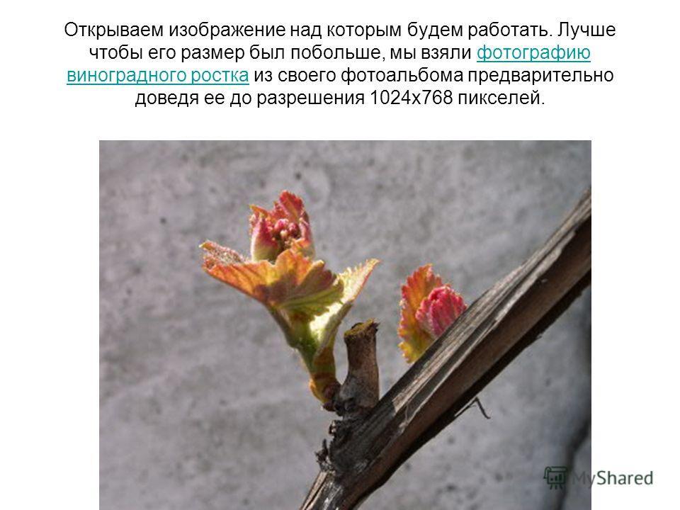 Открываем изображение над которым будем работать. Лучше чтобы его размер был побольше, мы взяли фотографию виноградного ростка из своего фотоальбома предварительно доведя ее до разрешения 1024х768 пикселей.фотографию виноградного ростка