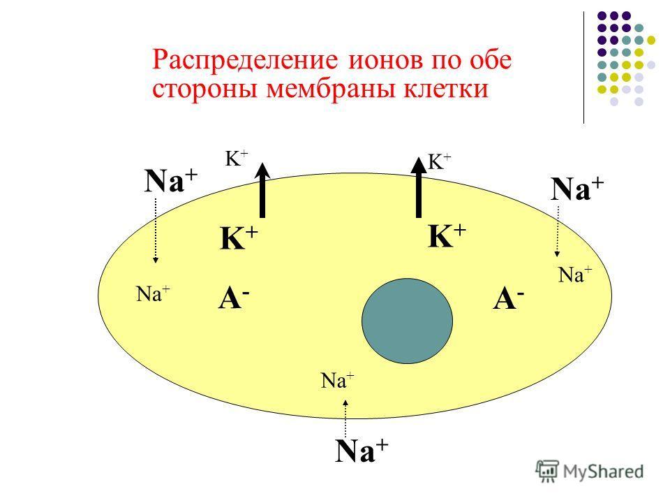 Распределение ионов по обе стороны мембраны клетки Na + K+K+ K+K+ A-A- A-A- K+K+ K+K+