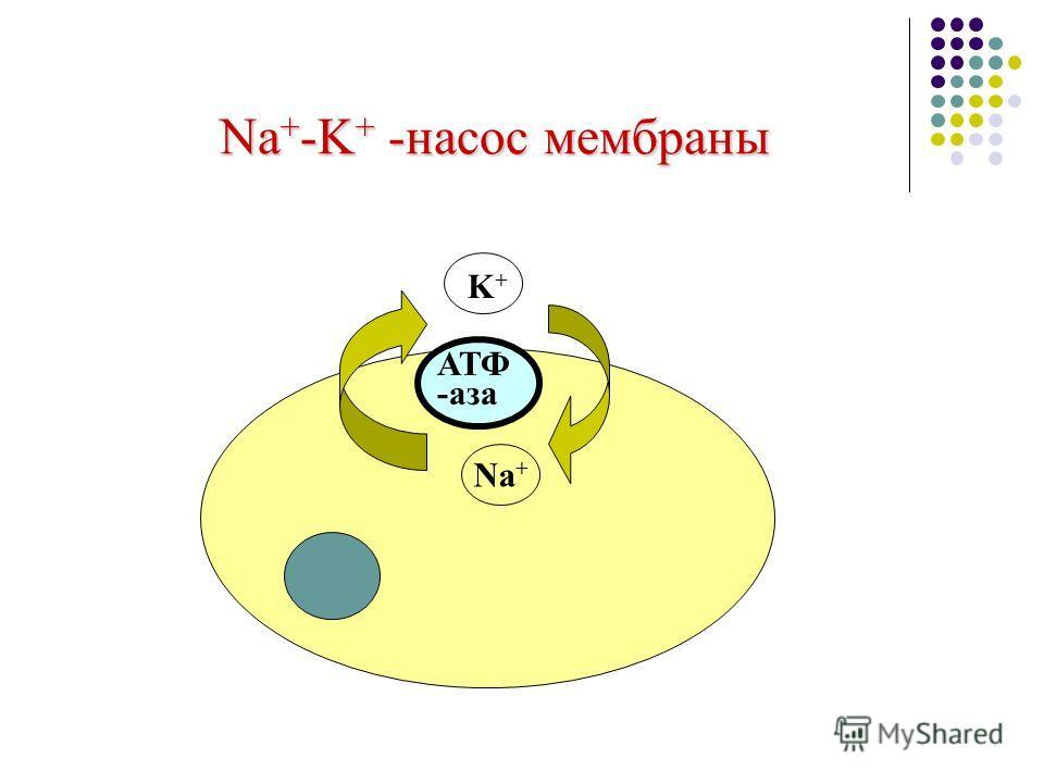 Na + -K + -насос мембраны Na + K+K+ АТФ -аза
