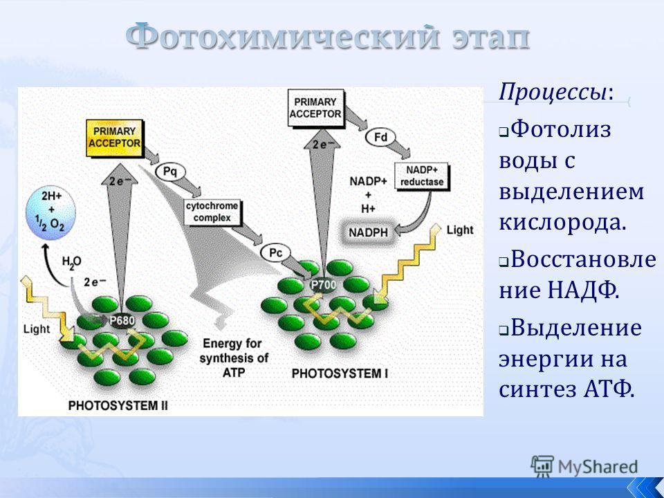 Процессы: Фотолиз воды с выделением кислорода. Восстановле ние НАДФ. Выделение энергии на синтез АТФ.