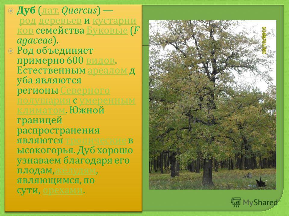 Дуб ( лат. Quercus) род деревьев и кустарни ков семейства Буковые (F agaceae). лат. род деревьев кустарни ков Буковые Род объединяет примерно 600 видов. Естественным ареалом д уба являются регионы Северного полушария с умеренным климатом. Южной грани