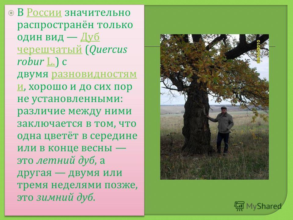 В России значительно распространён только один вид Дуб черешчатый (Quercus robur L.) с двумя разновидностям и, хорошо и до сих пор не установленными : различие между ними заключается в том, что одна цветёт в середине или в конце весны это летний дуб,
