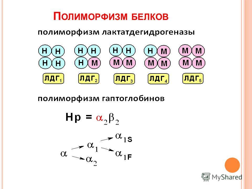 П ОЛИМОРФИЗМ БЕЛКОВ