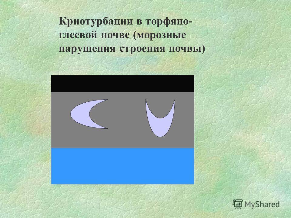 Криотурбации в торфяно- глеевой почве (морозные нарушения строения почвы)