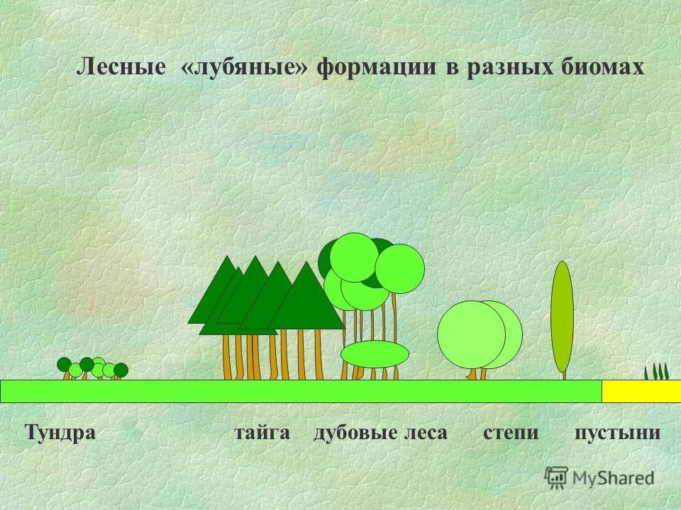 Лесные «лубяные» формации в разных биомах Тундра тайга дубовые леса степи пустыни
