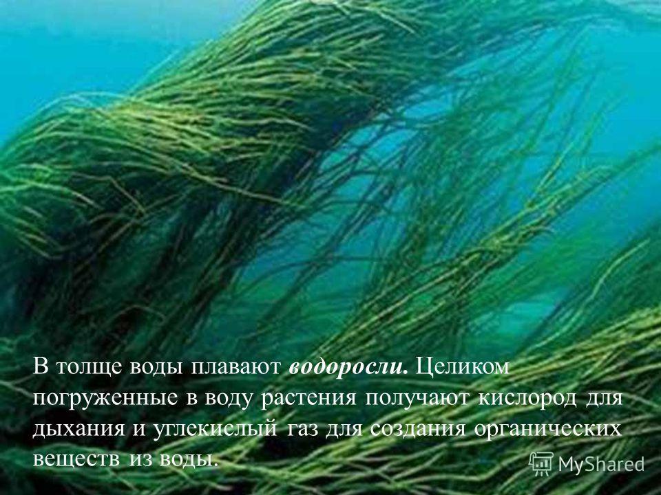 В толще воды плавают водоросли. Целиком погруженные в воду растения получают кислород для дыхания и углекислый газ для создания органических веществ из воды.