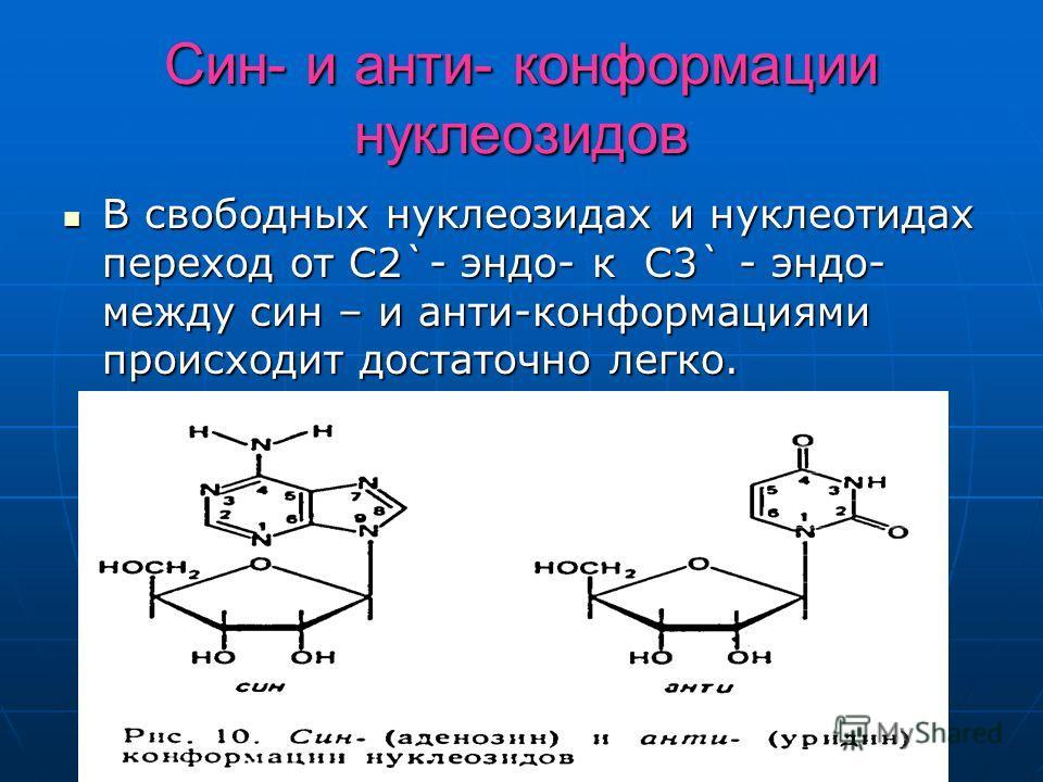 Син- и анти- конформации нуклеозидов В свободных нуклеозидах и нуклеотидах переход от C2`- эндо- к C3` - эндо- между син – и анти-конформациями происходит достаточно легко. В свободных нуклеозидах и нуклеотидах переход от C2`- эндо- к C3` - эндо- меж