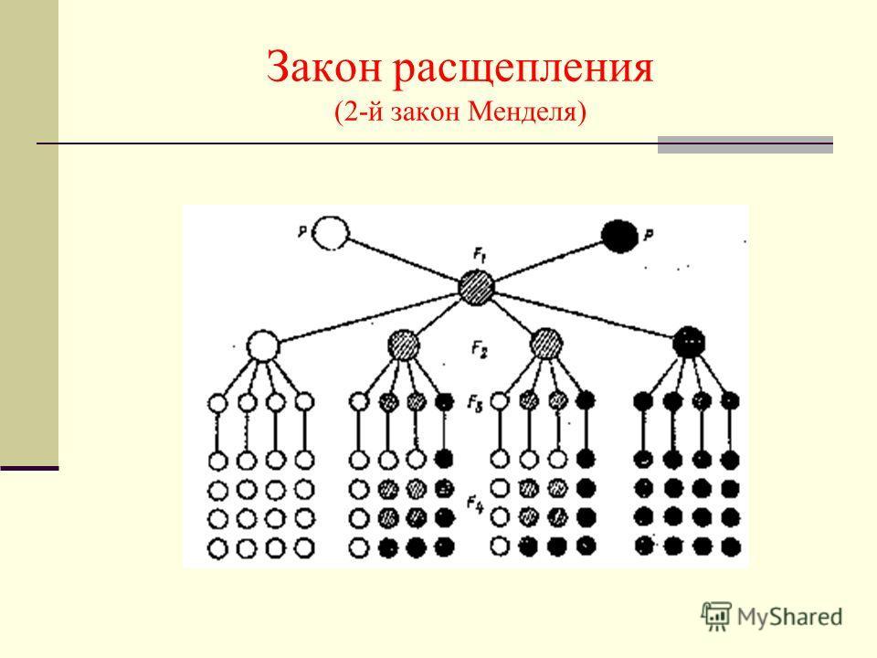 Закон расщепления (2-й закон Менделя)